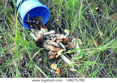 Edible mushrooms scattered from a blue bucket outdoor on green grass