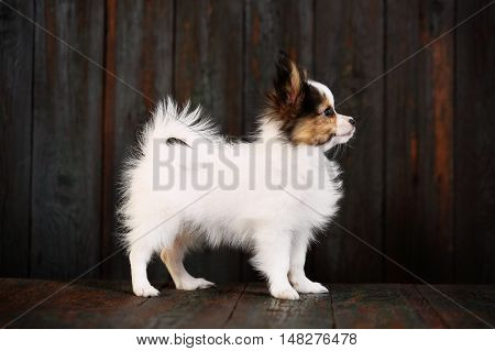 Portraits of three puppies papillon breed with pumpkins. Halloween
