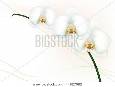 Beautiful white orchid isolated on white. Vector.