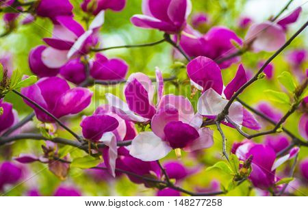 A branch of a blossoming magnolia. Flowers magnolia.