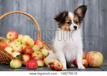 doggie breed Papillon sits near the basket with apples
