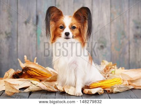 Cute doggie breeds papillon on a gray background. Postcard Rustic
