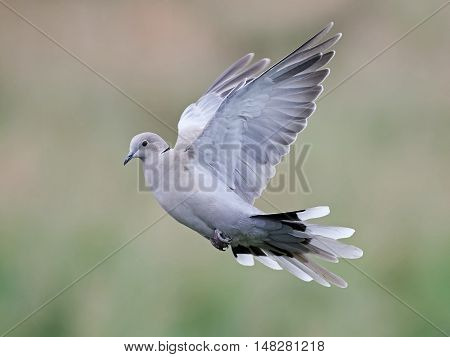Eurasian collared dove (Streptopelia decaocto) in flight with vegetation in the background