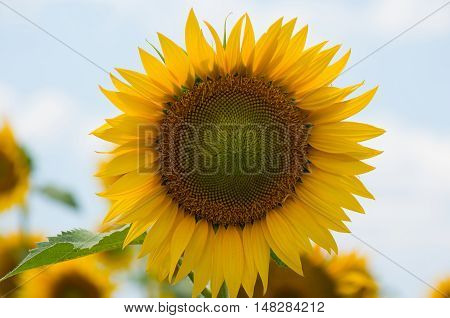 Sunflower close-up against the sky. Sunflower is an annual flowering plant.
