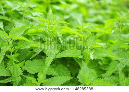 Beautiful green background leaves of nettle , often called common nettle or stinging nettle