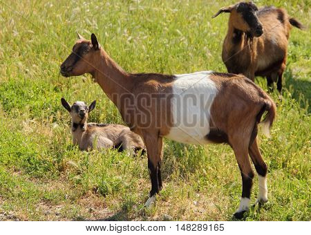 Family goats in nature in the meadow