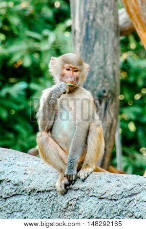 Young hamadryas baboon, monkey sitting on a rock