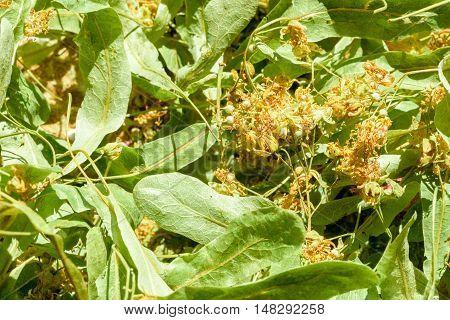 Lime Tree Tilia Flowers And Leaves