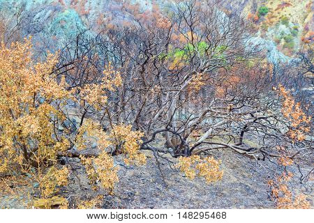 Charcoaled landscape with burnt trees caused by a wildfire