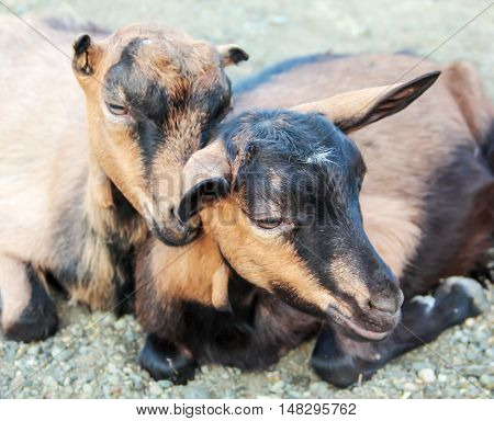 Two goats without horns lie in the nature