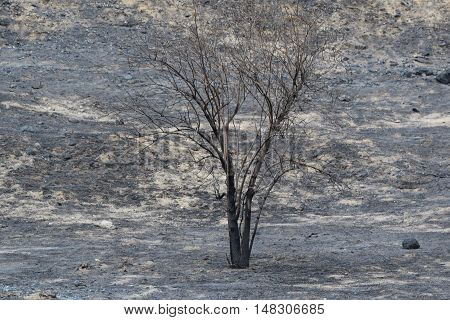 Charcoaled landscape with a lone burnt tree caused by a wildfire