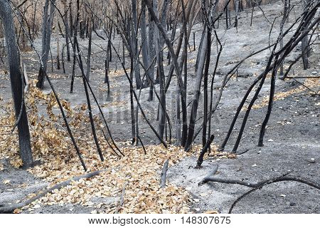 Charcoaled landscape including burned trees in a forest taken after a wildfire