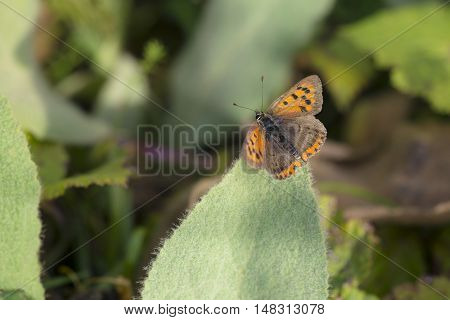 Small Copper (Lycaena phlaeas) butterfly resting on a Leaf