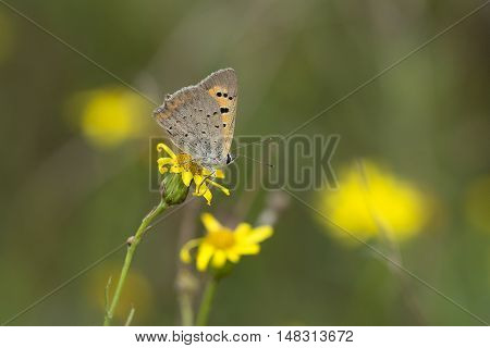 Small Copper (Lycaena phlaeas) butterfly resting on Narrow-leaved Ragwort (Senecio inaequidens) flower