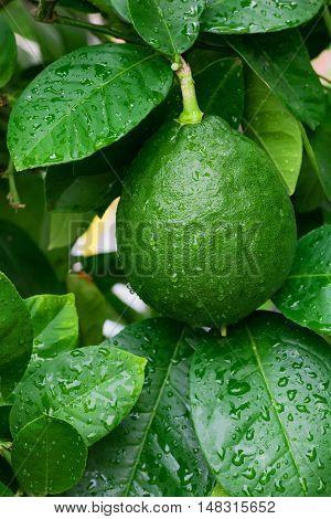 Green lemon hanging on a lemon tree wet after rain