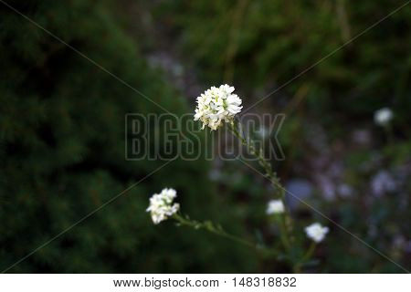 Hoary alyssum (Berteroa incana), also called false hoary madwort, hoary berteroa, and hoary alison, blooms in Harbor Springs, Michigan during August.