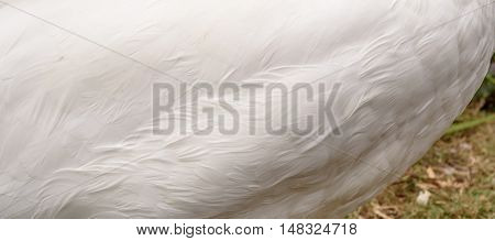 White swan feathers showing the texture of the birds plume