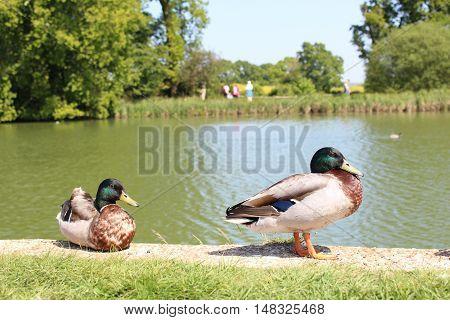 Two mallard ducks enjoying a sunny day at Bodiam castle