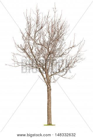 Young tree with buds at early spring isolated on white background.Concept life revival and spring.
