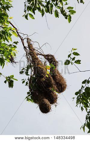 Oropendola Nests In Costa Rica