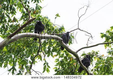 Tropical Black Vulture