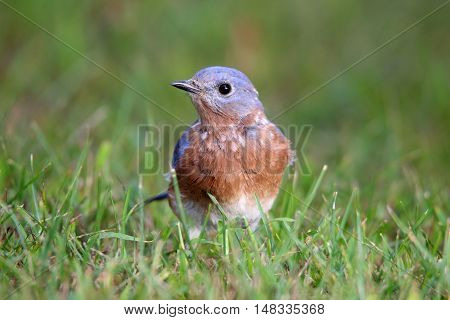A male eastern bluebird (Sialia sialis) foraging for insects in the grass.