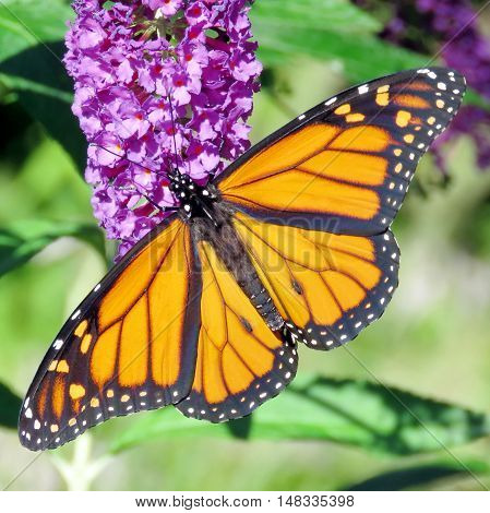 Beautiful Monarch Butterfly in High Park of Toronto Canada September 20 2016