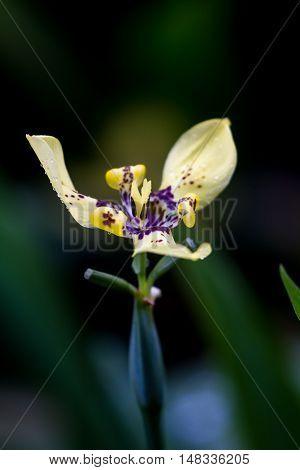 Yellow Maxillary Orchid