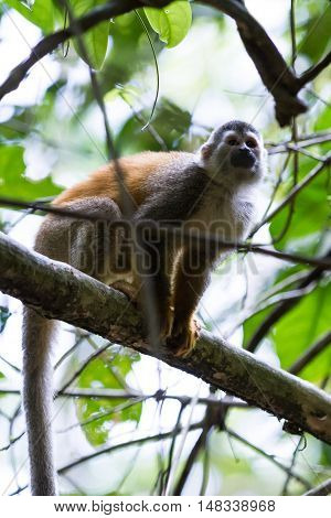 Central American Squirrel Monkey - Saimiri Oerstedii
