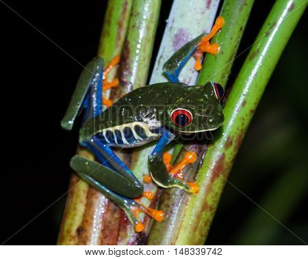 Red-eyed Tree Frog - Agalychnis Callidryas