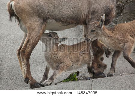 Alpine ibex (Capra ibex ibex), also known as the steinbock or bouquetin. Female ibex feeding its calf. Wildlife animal.