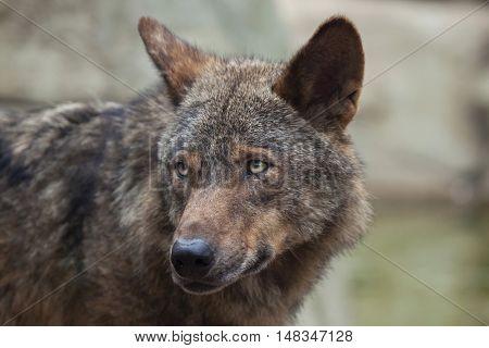 Iberian wolf (Canis lupus signatus). Wildlife animal.