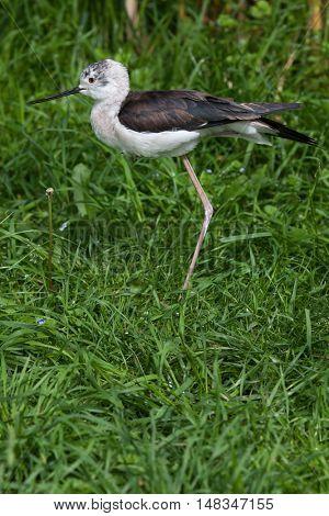 Black-winged stilt (Himantopus himantopus), also known as the pied stilt. Wildlife animal.
