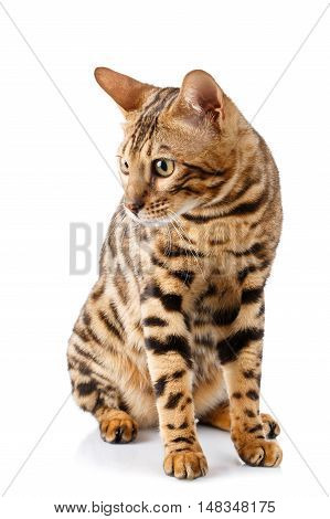 purebred bengal cat on a white background. cat sits