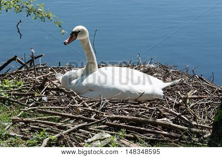 Mute swan at its nest with eggs in an urban park.