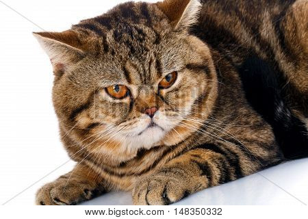 Portrait of a cute funny cat Scottish Straight isolated on white background