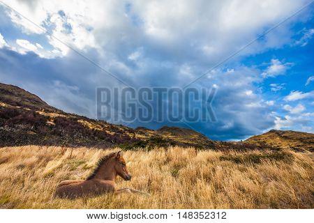 Strong winds of Patagonia. The yellow grass resting horse. Chile, Torres del Paine National Park - Biosphere Reserve