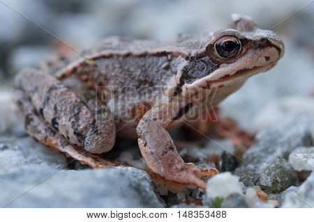 Closeup of brown spotted leaf frog staring into the camera.