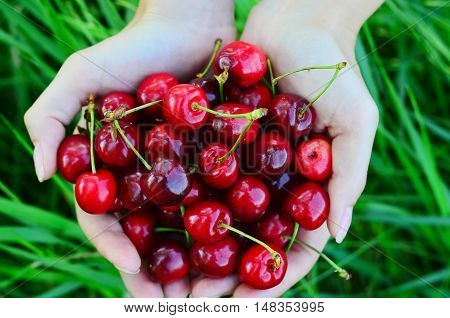 Handful of red ripe cherry in female hands on nature background top view