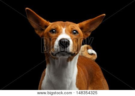 Close-up Funny Portrait White with Red Basenji Dog Looks Curious with Clumsy Ears on Isolated Black Background, Font view
