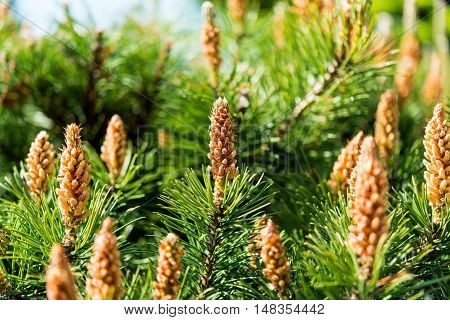 background of pine with young cones gardening, green