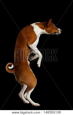 Funny White with Red Basenji Dog Looks Curious and Walk on Two Hind Legs, Isolated Black Background