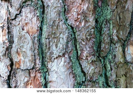Old wood texture of pine bark. ss