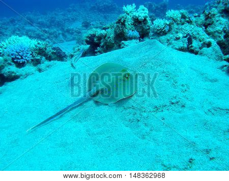Bluespotted ray (Taeniura lymma) at the bottom of tropical sea underwater