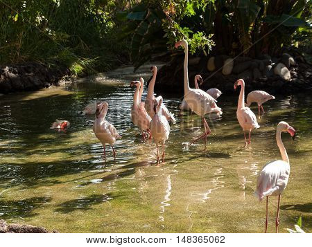 Nice pink big bird Greater Flamingo Phoenicopterus ruber