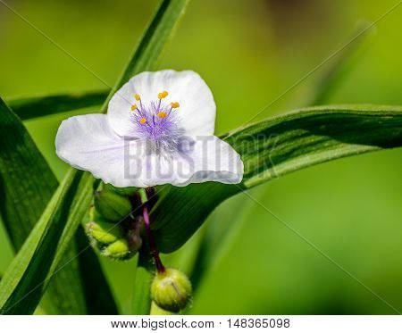 Closeup of a budding and pure white blossoming Spiderwort or Tradescantia plant in it own natural habitat in the beginning of the summer season.