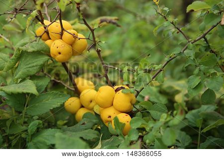 Japanese quince in autumn garden.  Chaenomeles branch wih vitamins fruits.