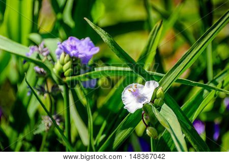 Closeup of a budding and pure white and purple blossoming Spiderwort or Tradescantia plants in it own natural habitat of a garden in the beginning of the summer season.