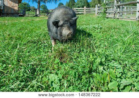 Black pig swine feeds grass in the farm