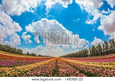 The concept of eco-tourism. Colorful field, planted with flowers. Garden buttercups bloom in bright colors. Walk on a sunny day